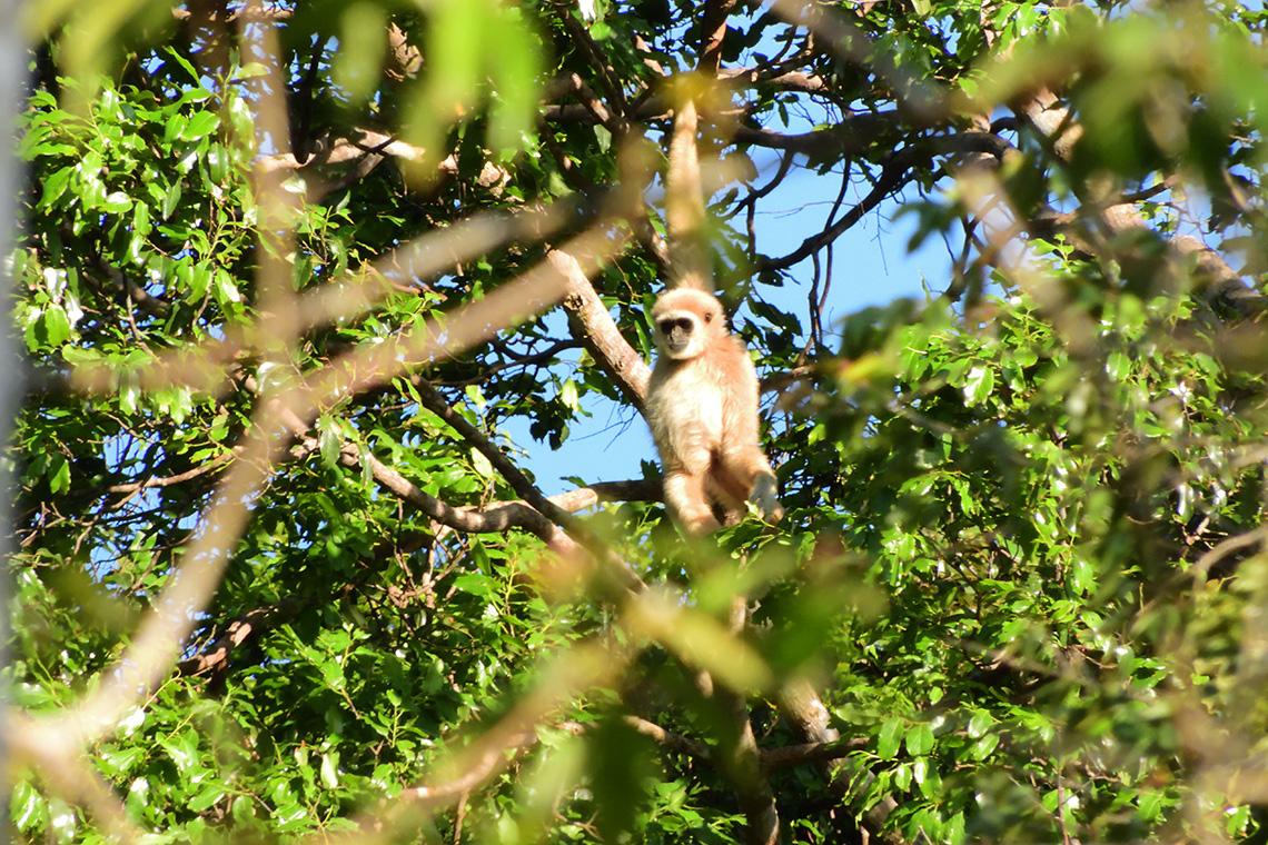 Rompin State Park Lar Gibbon