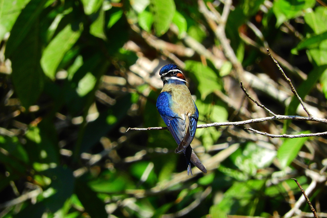 Rompin State Park Whiskered Treeswift