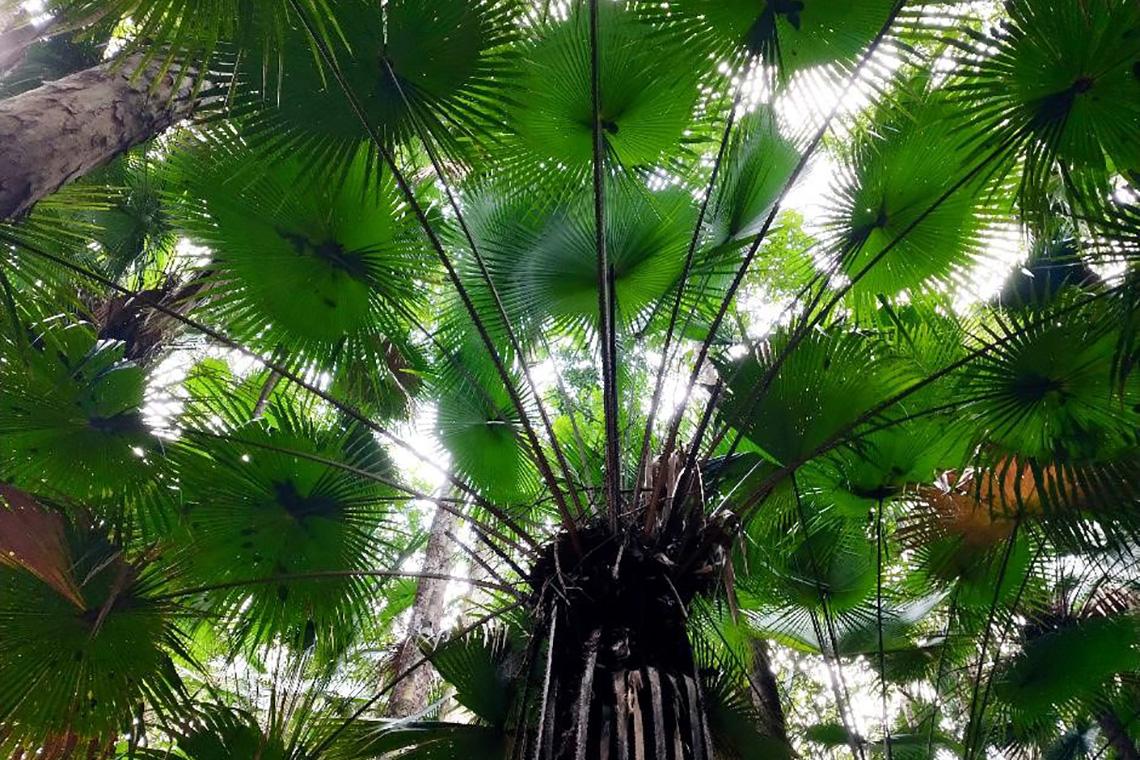 Rompin State Park Livistona Endauensis