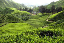Cameron Highlands nearby Ipoh
