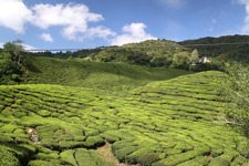 Trip Cameron Highlands tea valleys