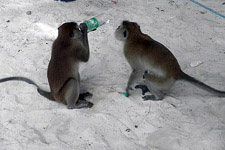 Monkeys drinking water from a bottle