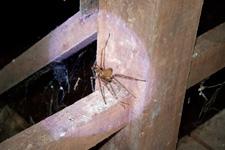 Tiger spider at Bewah Cave 2