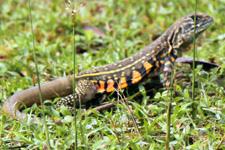 Butterfly Lizard Langkawi