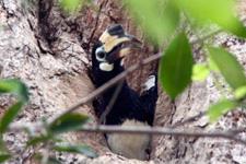 Hornbill nest at the Westin Resort