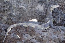 Big monitor lizard