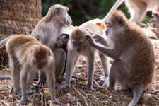 Monkeys in Langkawi