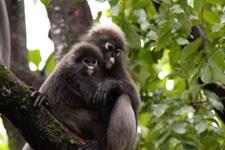 Silver Leaf monkeys Langkawi