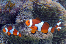 Clownfish at Perhentian