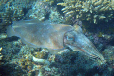 Cuttlefish during snorkeling