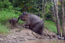 Pygmy Elephant with youngster at Kinabatangan River Cruise
