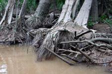 Tree roots along Kinabatangan River