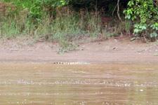 Crocodile along the river banks at Kinabatangan River