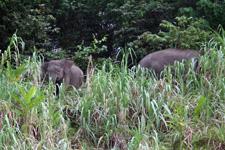 Herd of elephants along Kinabatangan River