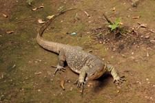Monitor Lizard in the Kinabatangan area