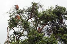Proboscis Monkeys spotted at Kinabatangan River Cruise