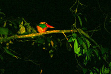 Sleeping Kingfisher at Kinabatangan River Night Cruise