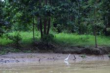 White bird along the river banks at Kinabatangan River
