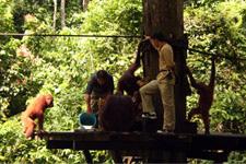 Sepilok Oranguntan Rehabilitation Center nearby Sandakan