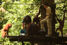 Feeding time at Sepilok Orangutan Rehabilitation Centre