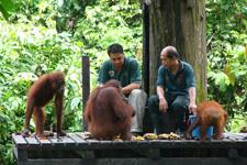Orangutans 2